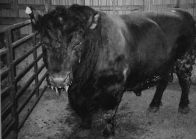 Largest Bull